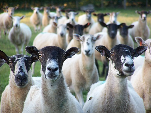 Nosey-sheep-at-Hicks-Farm-Holidays-Shropshire-Hills-website-1-1